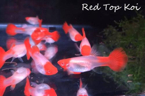 Guppies Online, guppy fish guppy fish tank guppy fish food