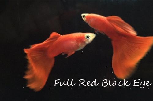 Guppies Online, guppy fish guppy fish tank guppy fish food guppy