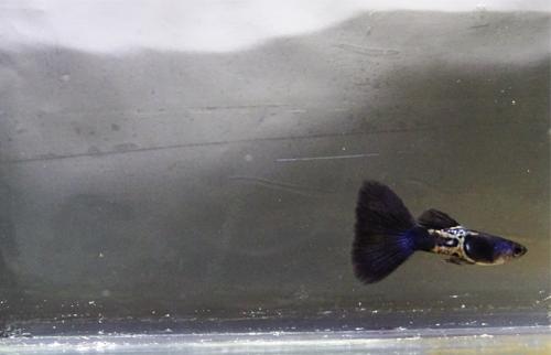 Guppies Online Guppy Fish Guppy Fish Tank Guppy Fish Food Guppy